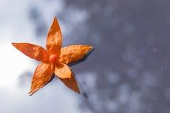 Цветок alkekengi физалиса с оранжевой шелухой Стоковые Фото