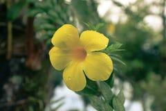 цветок allamanda Стоковые Фото