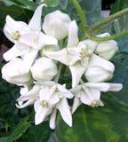 Цветок Anchan Стоковое Изображение RF
