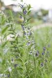 Цветок Angelonia нерезкости стоковые изображения