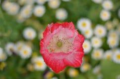 Цветок AngKhang в Таиланде стоковое изображение rf