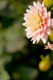 Цветок AngKhang в Таиланде стоковая фотография