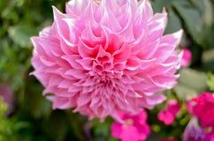 Цветок AngKhang в Таиланде стоковые фотографии rf
