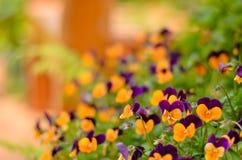 Цветок AngKhang в Таиланде стоковые фото