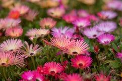 Цветок AngKhang в Таиланде стоковые изображения