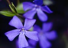 Цветок Apocynaceae Стоковое Изображение RF