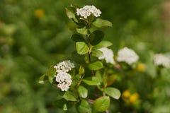 Цветок Aronia в весеннем времени стоковое изображение