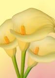 цветок arum стоковое изображение rf