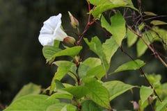 Цветок arvensis повилики вьюнка полностью Стоковое Фото