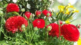 Цветок Asiaticus лютика Стоковые Фотографии RF