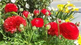 Цветок Asiaticus лютика Стоковое Изображение