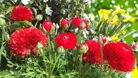 Цветок Asiaticus лютика Стоковое Фото