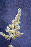 цветок astilbe стоковые фотографии rf