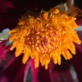 Цветок atropurpurea георгина Стоковое фото RF