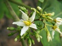 Цветок Aubergine гороха Стоковая Фотография RF