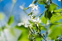 Цветок azoricum Jasminum жасмина Азорских островов в саде, зацветая жасмине Стоковое Изображение RF