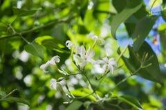 Цветок azoricum Jasminum жасмина Азорских островов в саде, зацветая жасмине Стоковые Фотографии RF