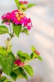 Цветок Baan Phakakrong стоковая фотография rf
