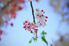 Цветок bakeriana кассии Стоковое Фото