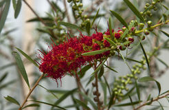 Цветок Banksia Стоковая Фотография RF