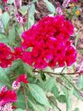 Цветок Belbet Стоковое Изображение RF