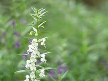 Цветок Benth goyazensis Angelonia или тайская незабудка стоковое изображение