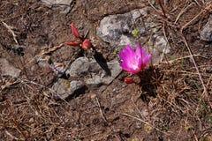 Цветок Bitterroot стоковое фото rf