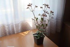Цветок blossfeldiana Kalanchoe в горшке Стоковое Фото