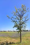 Цветок Bluebonnet Техаса стоковая фотография rf