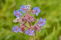 Цветок Borage Стоковое Изображение