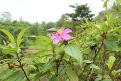 Цветок Bovitiya в природе Шри-Ланка Стоковые Изображения RF
