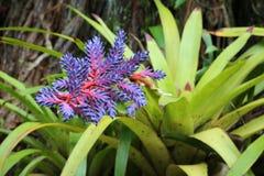 Цветок Bromeliad танго Aechmea голубой Стоковое Изображение