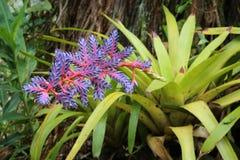 Цветок Bromeliad танго Aechmea голубой Стоковое Фото