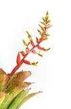 Цветок Bromeliad Стоковая Фотография RF