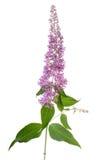 цветок buddleia Стоковое Изображение