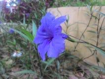Цветок Bue Стоковые Фото
