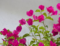 цветок buganvilla бугинвилии Стоковые Изображения RF