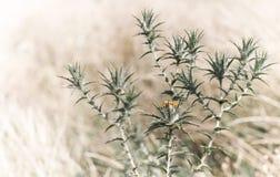 цветок bur сухой Стоковое Изображение RF
