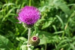 Цветок Bur Стоковое Изображение RF