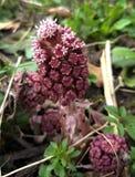 Цветок Butterbur Стоковая Фотография RF