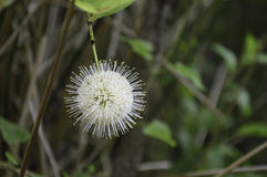 Цветок Buttonbush Стоковые Изображения