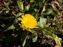 Цветок Calendula в солнечности утра стоковые фото
