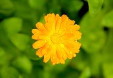 Цветок calendula ноготк с падениями дождя Стоковые Изображения