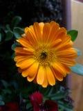 Цветок calendula Стоковые Фото