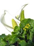 Цветок Calla Стоковые Фотографии RF