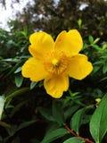 Цветок Calycinum Hidcote зверобоя золотой желтый стоковая фотография rf