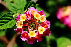 Цветок Camara Lantana Стоковые Фотографии RF