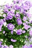 цветок campanula Стоковые Изображения