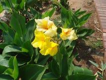 Цветок Canna, city& x27; пейзаж s красивый Стоковые Фотографии RF