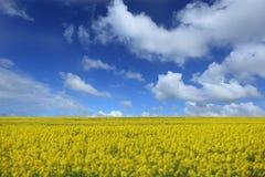 цветок canola Стоковые Фото